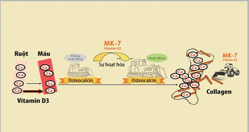MK7 kích hoạt Osteocalcin từ dạng bất hoạt sang dạng hoạt động, có khả năng gắn và đưa canxi vào khung xương.