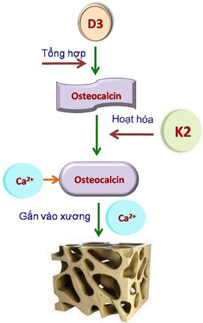 Vitamin K2 có tác dụng kích hoạt protein Osteocalcin gắn xương giúp xương phát triển tốt nhất về mật xương, khối lượng xương và cả chiều dài của xương.